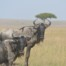 Wildebeest in the bush