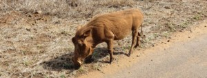 warthog in a field