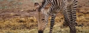 baby zebra eating hay