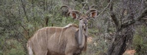 Kudu walking in the bush