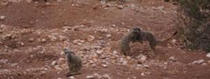 meerkats fighting in the sand