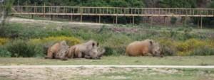 Rhinos in a mud bad