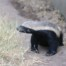 Honey Badger in an enclosure