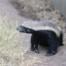 Honey Badger in an enclosure