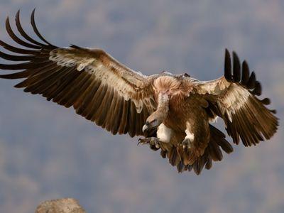 vulture landing on a rock